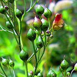 Зобная трава зобный корень